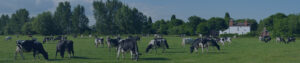 Holstein cows grazing in a field