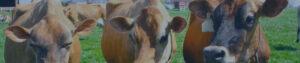 Three cows portrait