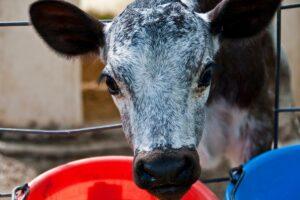 Clinical efficacy of a Salmonella Dublin vaccine in dairy calves