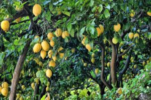 Rice straw and residues of citrus fruit pruning in ruminant diets