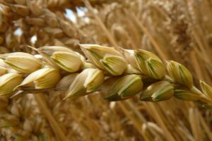 Effects of replacing corn grain with wheat