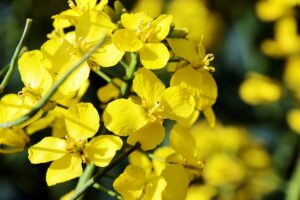 Optimal inclusion level of canola meal in dairy diets