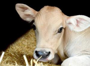 Automatic milk feeding systems for dairy calves