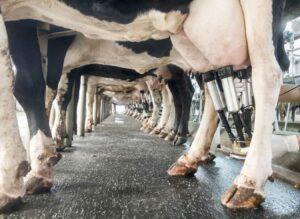 Cows in a milking room