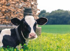 Respiratory disease complex in dairy calves (BRD)