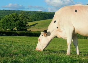 Holstein cow feeding grass