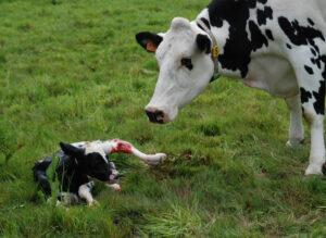 Fresh cow and her newborn calf