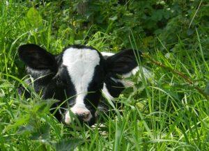 Cute Holstein calf hidden in the grass