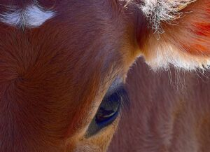 Brown cow's eye