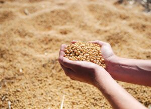 Handling soybeans