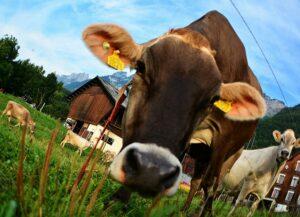 Swiss Brown cow, portrait