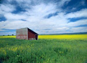 A canola yellow field. Landscape