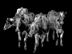 A charcoal drawing of four Holstein cows
