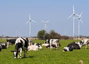A herd of Holstein dairy cows grazing in a meadow and a few wind turbines behind