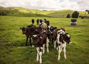 A little herd of cute Holstein calves on the grass