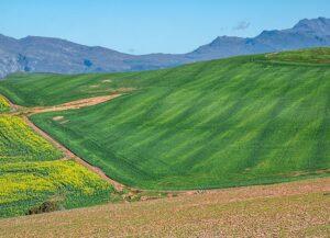 Canola fields, landscape