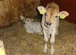 Two cute Jersey calves