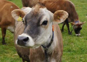 Jersey cows have different ruminal microbiome