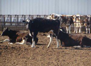 Bioseguridad para controlar la IBR en granjas lecheras