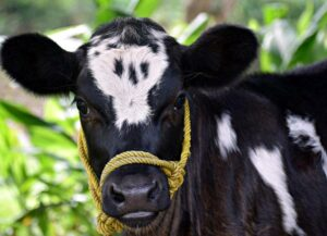 Leukemia virus in bovine colostrum by spray-drying treatment