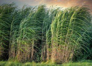 Sugarcane silage