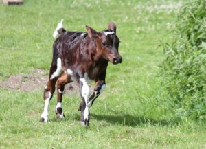 Glycerol growth pre-weaned calves