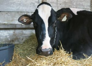 Practices and perceptions of cow management by dairy farmers