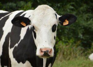 The serological state against the bovine leukemia virus