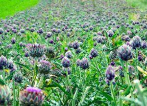 Nutritional value of the Jerusalem artichoke