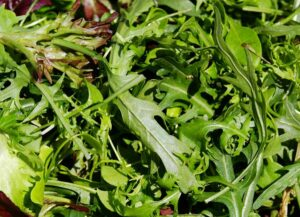 Fresh salad industry coproducts as ingredients in ruminant diets