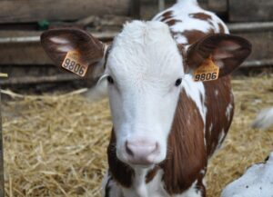 Optimum concentration level of starch in calf starter feed