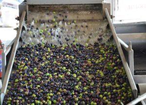 El orujo de oliva y los ácidos grasos beneficiosos en leche