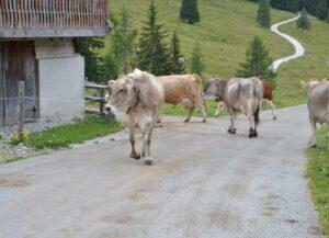 Diferencias entre el transporte de las vacas a pie o en camión