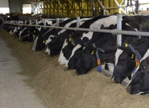 Replacing alfalfa hay with corn gluten feed in dairy cow diets