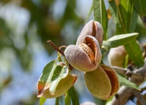 Almond hulls nutritional composition differs among varieties
