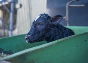 Factors that affect perinatal calf mortality in dairy farms