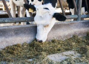 Feed efficiency of primiparous at the beginning of the lactation