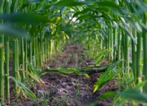Management practices affecting on corn silage yield and quality