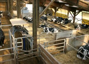 Operators and cows in an automatic milking system