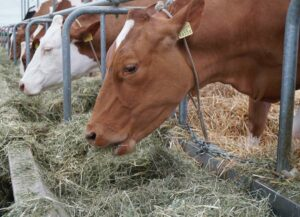 Effects of the selective feeding behavior in dairy cows