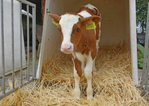 Brushing calves increases their activity and affinity for people