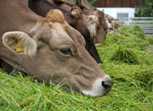 Evaluation of plasma carotene levels in dairy cows