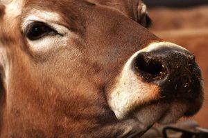 Cow vocalizations post calving as a stress indicator