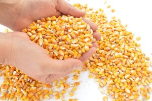 All corn isn't equal. Some modern corn hybrids differ significantly