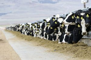 Distillers' grains for ruminants: Assessing protein quality