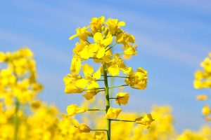 Best practices for feeding canola meal to dairy cows