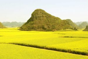 Can-canola-replace-soybean-meal-in-dairy-diet