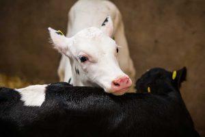 Manual vs. automated milk feeding systems
