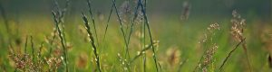 Ryegrass-HEADER